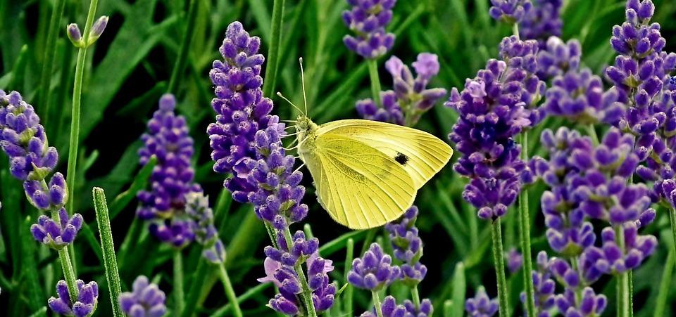 Kräuter / Lavendel